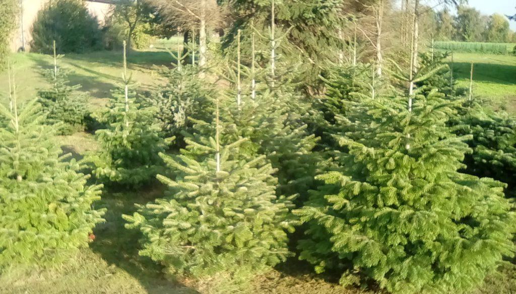 Weihnachtsbaum aussuchen und reservieren ab 01.11.2020